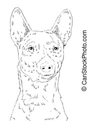 Dog of breed the basenji face, scetch