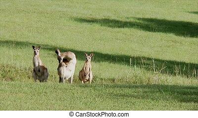 Kangaroos Trio - Three kangaroos in a field
