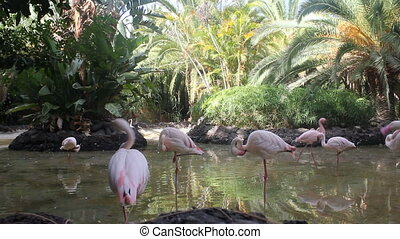 group of pink flamingos standing in water