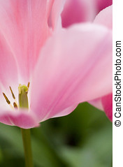 Close up of pink tulips, selective focus