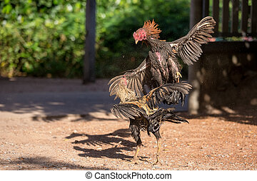 Fighting cocks in a vicious attack clawing at each other...