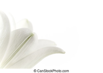 Close-up of a white lily with copy space