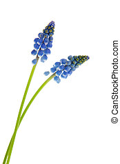 Blue grape hyacinths isolated over white background