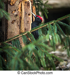 Black Woodpecker Dryocopus martius