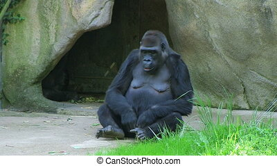 Embarrassed Gorilla - Female Western Lowland Gorilla gets...