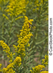 Wasp Pollinating Ragweed Flowers - A wasp pollinating yellow...