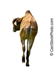 backside cow on white background