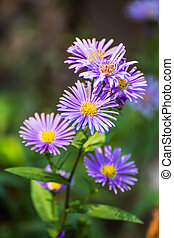 flowers - Beautiful puple chrysanthemum flowers
