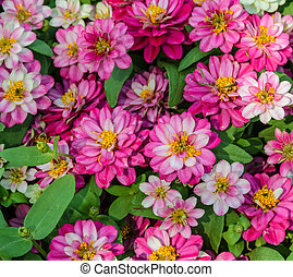 Pink Zinnia elegans in the garden