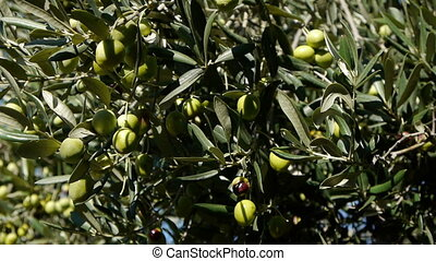 Ripe olives - Motion view of ripe olives on tree with blue...
