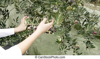 Olives picking - Woman picking olives from tree
