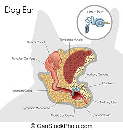 Structure of dog ear - Vector illustration of structure of...