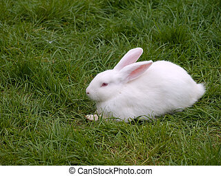 White rabbit sitting on some green grass