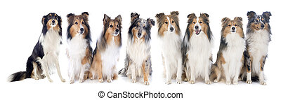 shetland dogs in front of white background
