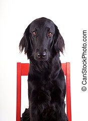 Dog on a Chair - Huge Black Dog Sitting on a Red Chair,...