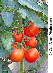 Tomatoes in greenhouse - Red tomatoes growing in a...