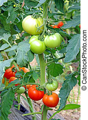 Tomatoes ripening in greenhouse - Tomatoes ripening in a...