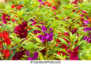 Garden Balsam. - Scientific name Impatiens balsamina...