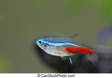 Neon aquarium fish - Close up image of neon fish in...