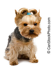 Yorkshire terrier - Photo of Yorkshire Terrier isolated on...