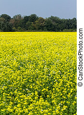 Colza - Beauriful yellow colza field in a sunny day
