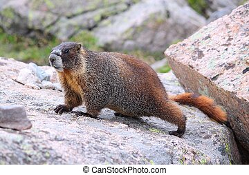 Yellow-bellied marmot - Wild animal - yellow-bellied marmot...