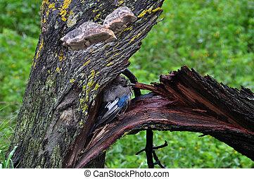 bird sheltering broken tree - Eurasian jay passerine bird...