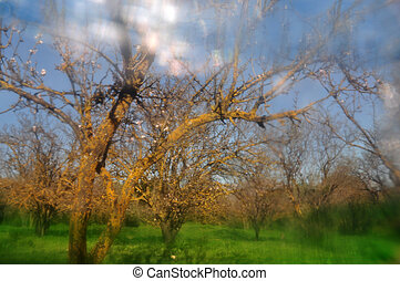 almond trees abstract - Blooming almong trees blue sky and...