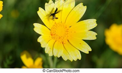 beetle jumping on yellow flower