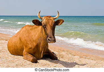 relax - leisure series: cow take a sunbathe on the sea beach