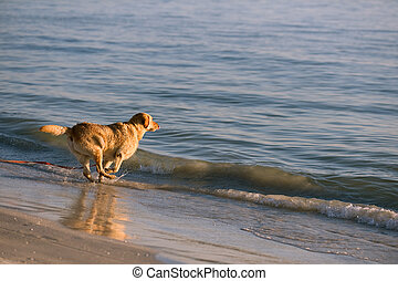 Playing Golden Retriever - Golden retriever running in waves...