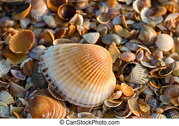 sea-shell texture - background series: sea shell texture on...