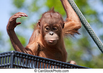 Baby Orangutan climbing on a rope at the zoo