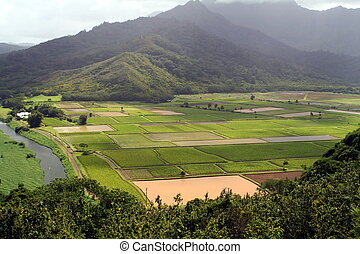 Aerial of Fields - An aerial of rice and taro fields.