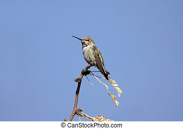 Annas Hummingbird calypte anna perched with a blue sky...