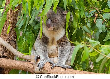 Koala sittin in a tree