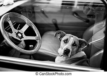 Bored dog in car - Bored dog in sitting in car looking...