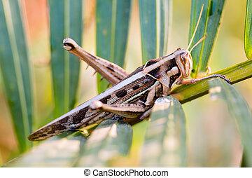 wrinkled grasshopper - close up wrinkled grasshopper on...