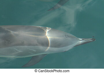 Dolphin under water. - A spinner dolphin swimming along side...
