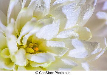 extremo, Macro:, branca, Dahlia, flor, usado, fundo