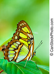red lacewing butterfly lat Cethosia biblis resting on a leaf...