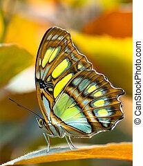 Malachite butterlfy - Malachite butterfly (lat. Siproeta...