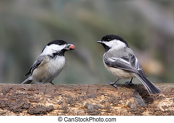 Pair of Birds on a Log - Pair of Black-capped Chickadees...