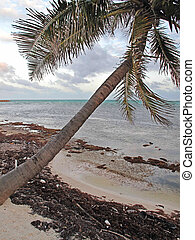 Sunset with Seaweed - A palm tree leans into the wind at...