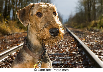 Airdale terrier on railroad tracks - An airedale terrier dog...