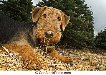 Airedale terrier with a muddy paw