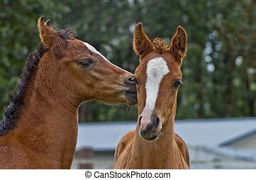 Affectionate baby foals - Two brown baby horses on kissing...