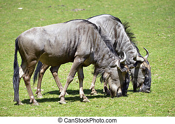 Blue wildebeest feeding