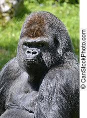 Stående, Västra, lågland,  gorilla