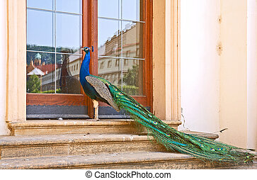 Peacock on the stair of the manor house. Sort : Pavo...